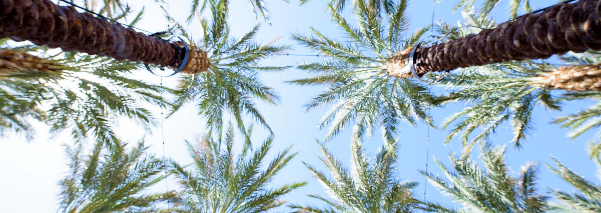 ASU Palms
